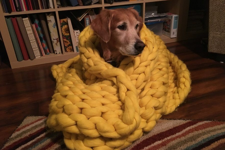 A Golden Retriever models while wrapped in the blanket.
