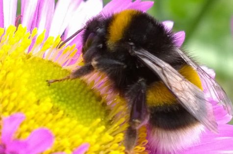 The Disappearing Bumblebee