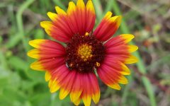 An Indian Blanket grows in a field of grass